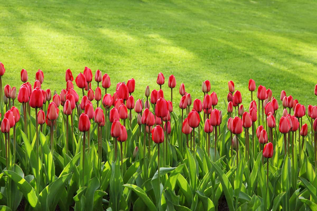 Commemorative Tulips